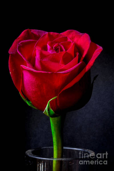Passionate Photograph - A Single Red Rose by Mitch Shindelbower