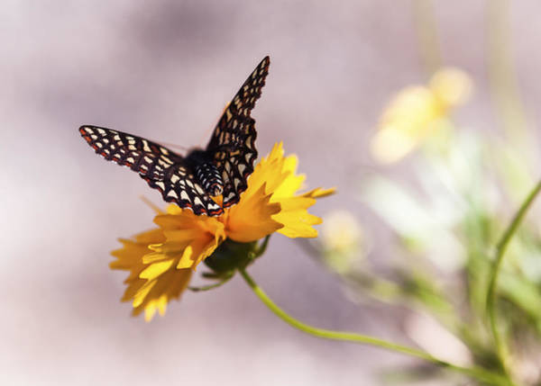 Butterfly Garden Photograph - A Sip Of Coreopsis by Caitlyn  Grasso