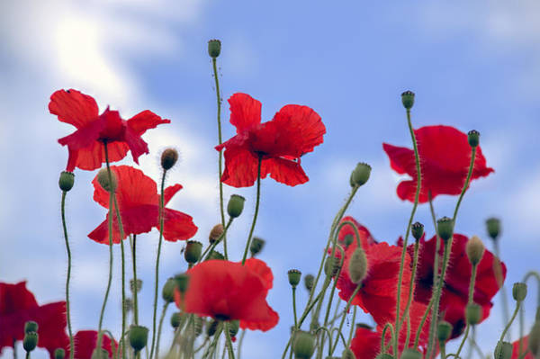 Photograph - A Sky Full Of Poppies by Ross G Strachan