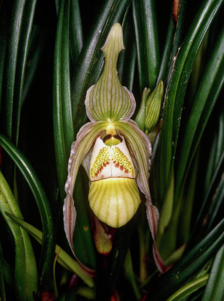 Slipper Photograph - A Slipper Orchid. by Dr Morley Read/science Photo Library