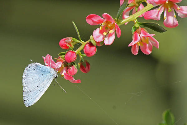 Photograph - A Small Blue Butterfly by Tony Murtagh