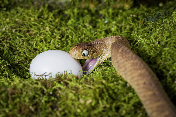 Grass Snake Photograph - A Snake Attacking An Egg by Mike Raabe / Design Pics