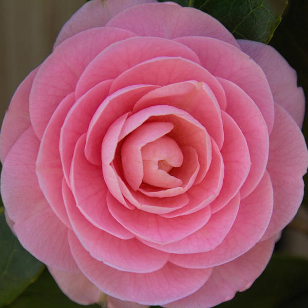 Photograph - A Soft Blush by Jemmy Archer
