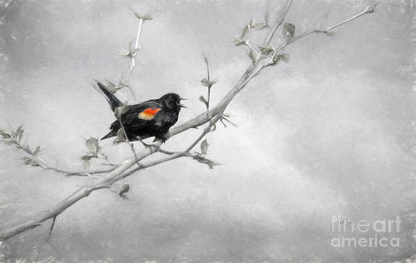 Red-winged Blackbird Wall Art - Digital Art - A Song Of Spring by Lois Bryan
