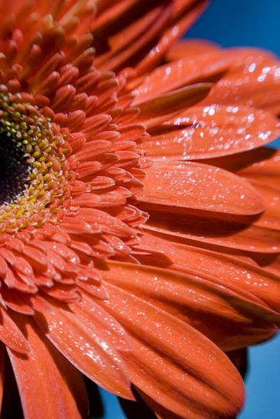 Photograph - A Sparkling Gerbera Daisy  by Beverly Stapleton