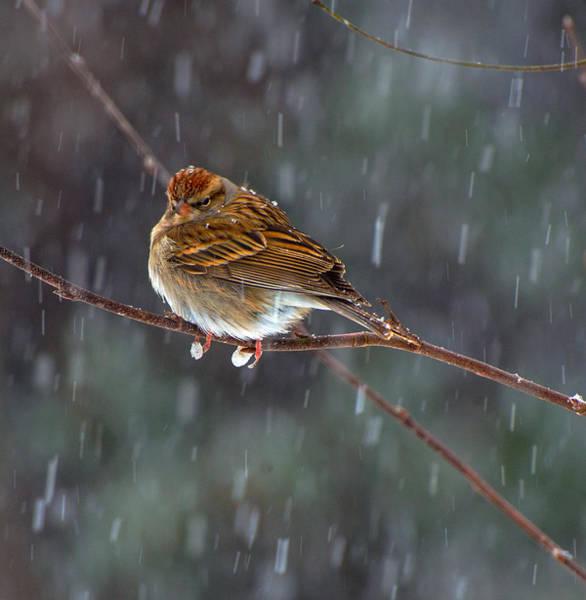 A Sparrow In Snow  Art Print