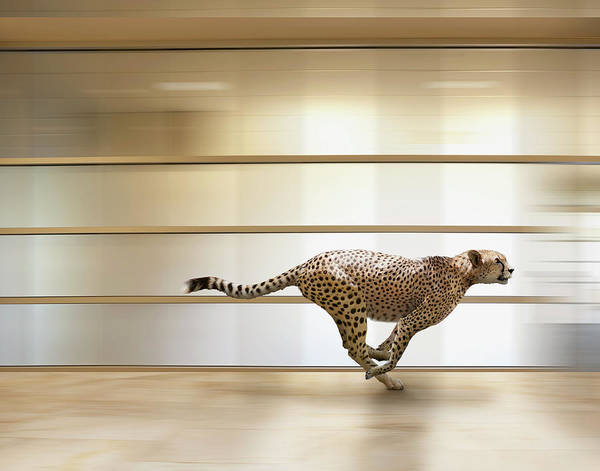 Out Of Context Photograph - A Sprinting Cheetah Speeds Through An by John Lund