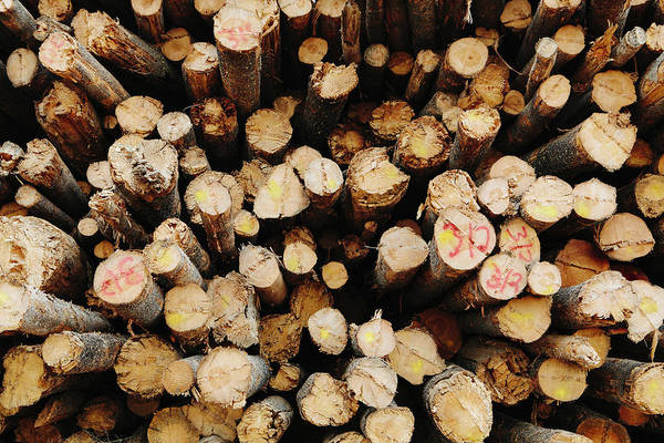 Material Photograph - A Stack Of Cut Timber Logs, Lodge Pole by Mint Images - Paul Edmondson