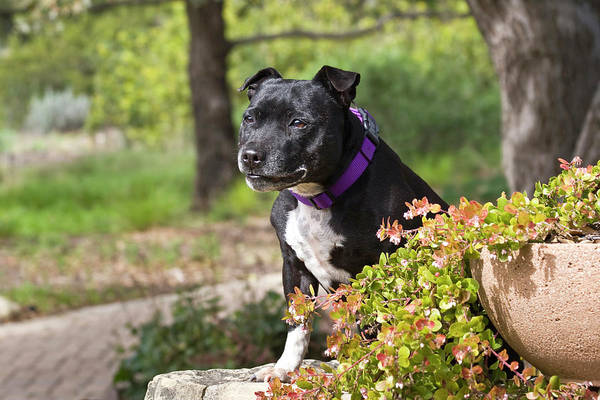 Sitting Bull Photograph - A Staffordshire Bull Terrier Sitting by Zandria Muench Beraldo
