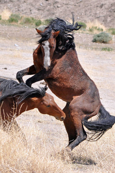 Lula Wall Art - Photograph - A Stallion Defends His Territory by Lula Adams