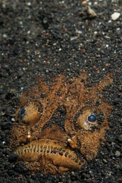 Buried Wall Art - Photograph - A Stargazer Half Buried In The Sand by Scubazoo
