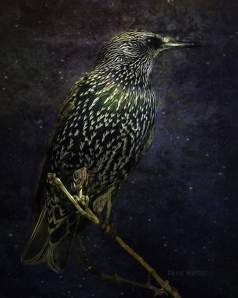 Wall Art - Photograph - A Starling In Starlight by David Wagner
