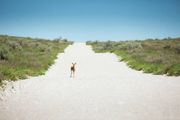 Botswana Photograph - A Steenbok Standing On A Road Looking by Richard Du Toit
