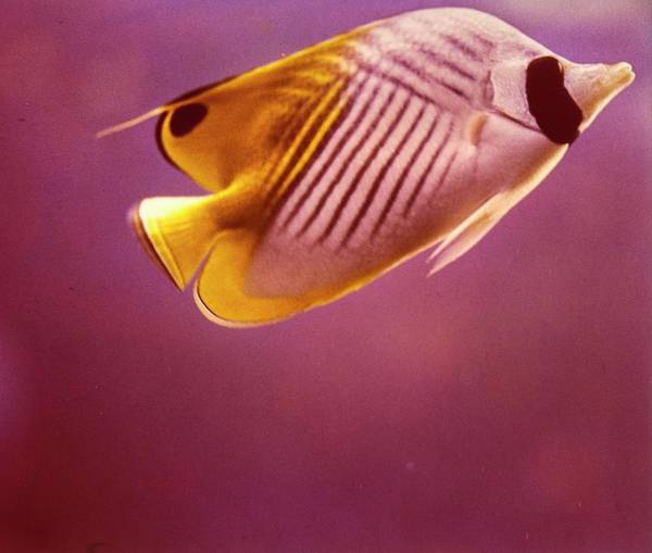 Wildlife Photograph - A Striped Butterfly Fish by Horst P. Horst