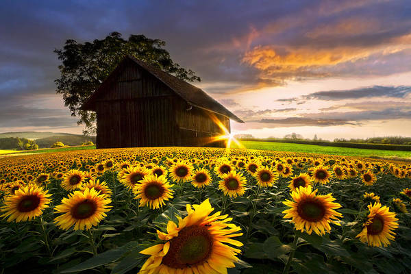 Photograph - A Sunflower Moment by Debra and Dave Vanderlaan