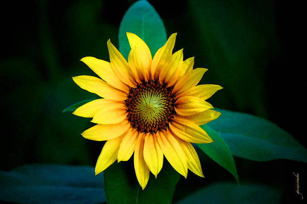 Sunflower Seeds Photograph - A Sunflower Named Stella by Gwyn Newcombe