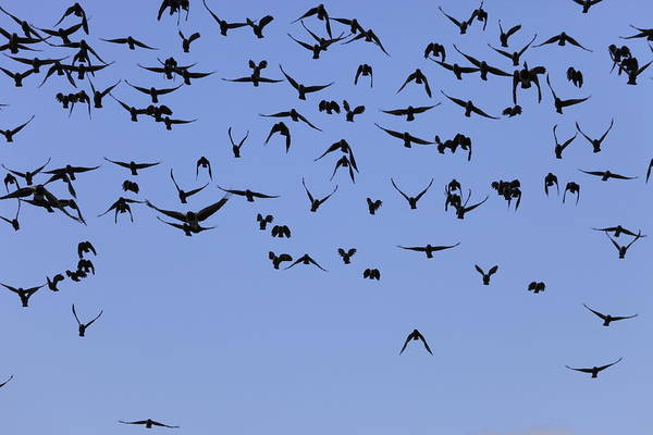 Craw Wall Art - Photograph - A Swarm Of Jackdaws by Ulrich Kunst And Bettina Scheidulin