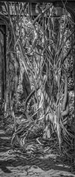 Wall Art - Photograph - A Tangle Of Vines by Thomas Young