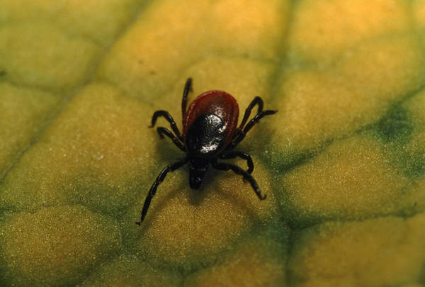 Boreal Forest Photograph - A Tick Found In The Southern Siberian by Peter Essick