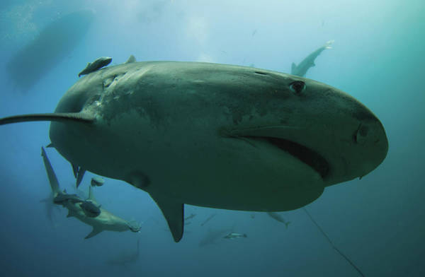 Underwater Camera Photograph - A Tiger Shark Inspecting The Camera by Rainer Schimpf