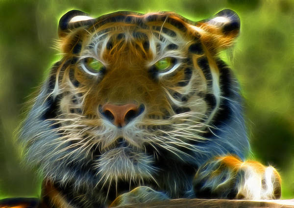 Different Animals Photograph - A Tiger's Stare II by Ricky Barnard