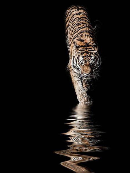 Tiger Photograph - A Time To Reflect by Paul Neville