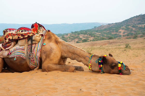 Dromedary Wall Art - Photograph - A Tired Camel, Pushkar, Rajasthan, India by Inger Hogstrom