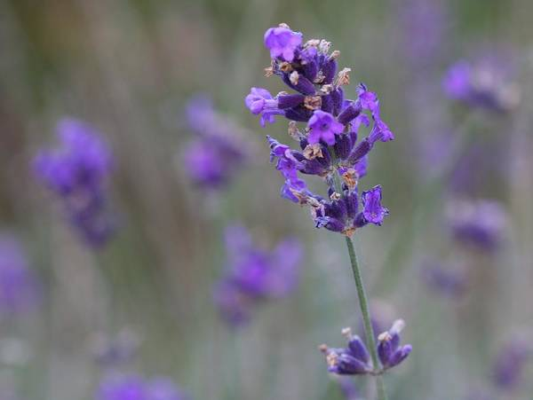 Photograph - A Touch Of Lavender by Nathan Rupert