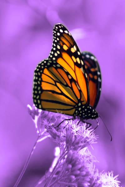 Monarch Butterflies Photograph - A Touch Of Summer  by Cathy Beharriell