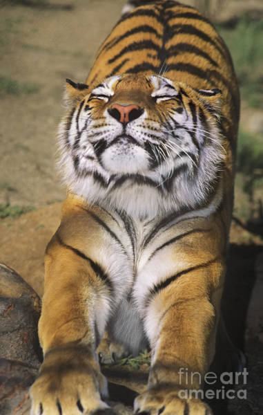 Photograph - A Tough Day Siberian Tiger Endangered Species Wildlife Rescue by Dave Welling