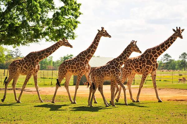 A Tower Of Giraffe Art Print