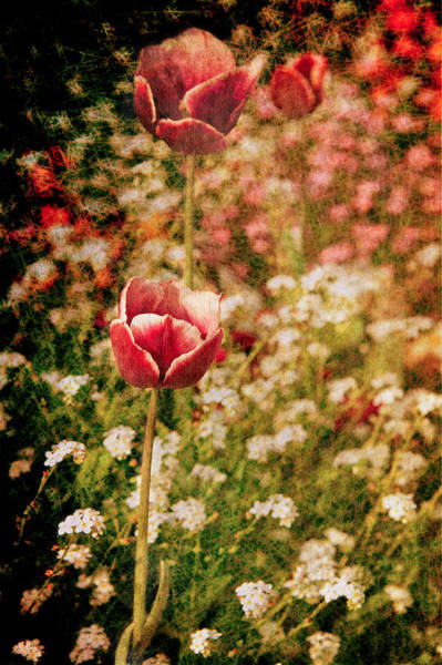 Wall Art - Photograph - A Tulip's Daydream by Loriental Photography
