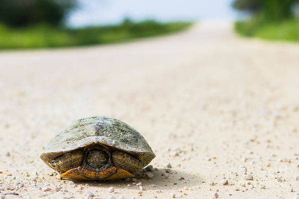Wall Art - Photograph - A Turtle On A Texas Farm Road by Ellie Teramoto