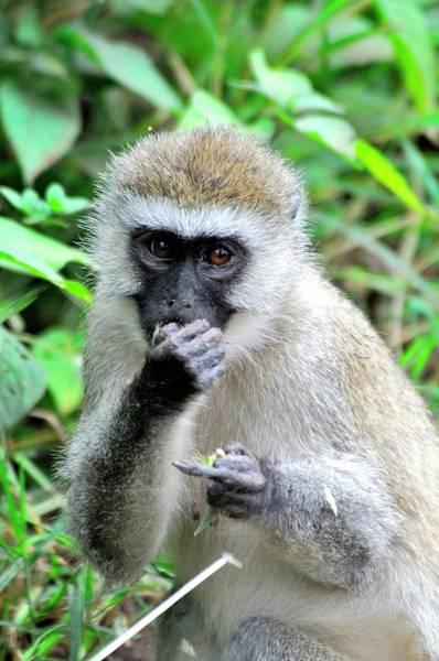 Wall Art - Photograph - A Vervet Monkey Eats by Beck Photography