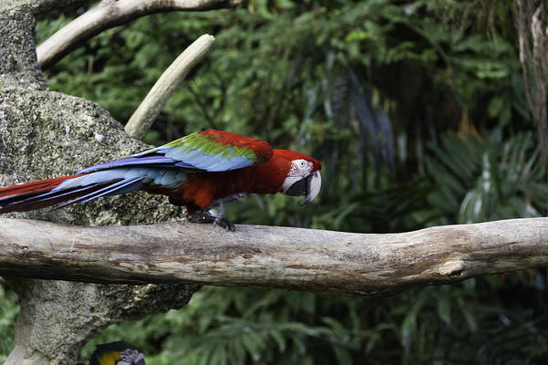 Jurong Bird Park Photograph - A Very Colorful And Bright Macaw Bird Perched On A Branch by Ashish Agarwal