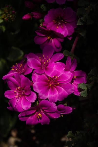 Photograph - A Vibrant Succulent Bouquet In Pink And Fuchsia by Georgia Mizuleva