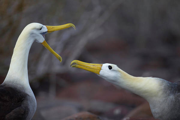 Waved Albatross Wall Art - Photograph - A Wave Albatross Couple In A Courtship by Peter Essick