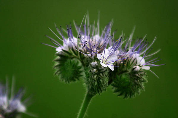 Photograph - A Weed by Emanuel Tanjala