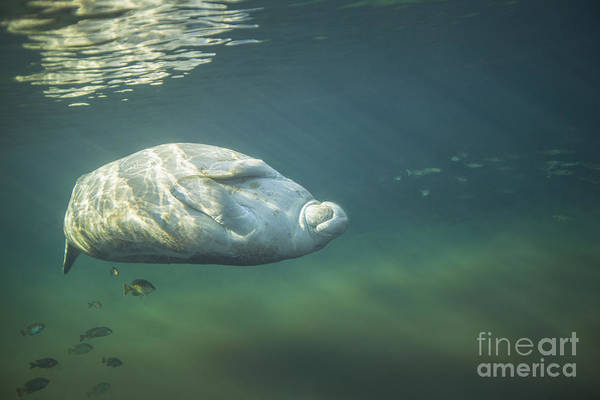 West Indian Manatee Photograph - A West Indian Manatee Rolls Over Upside by Michael Wood