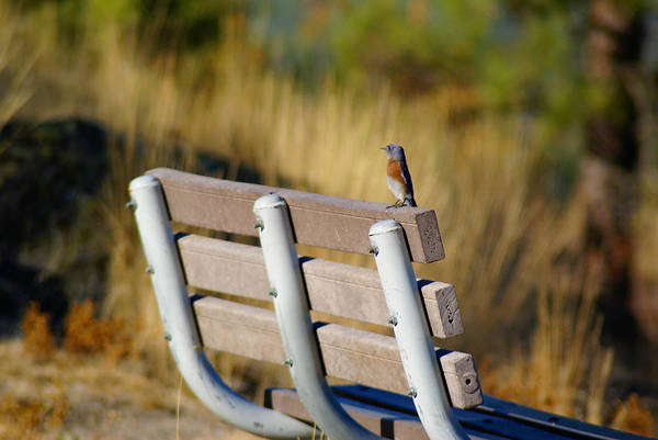 Photograph - A Western Bluebird On A Common Bench by Ben Upham III