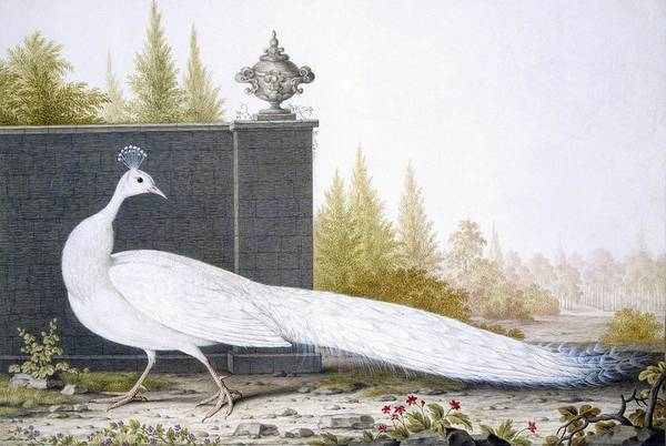 Peacock Drawing - A White Peahen by English School