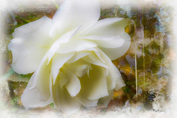 Photograph - A White Rose by Barry Jones