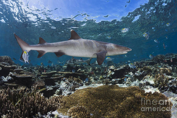 Triaenodon Obesus Photograph - A Whitetip Reef Shark _triaenodon Obesus_ Cruises A Shallow Reef, With Blacktip Reef Sharks _carcharhinus Melanopterus_ Seen In The Background_ Fiji by Dave Fleetham