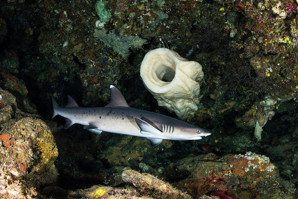 Triaenodon Obesus Photograph - A Whitetip Reef Shark Hunting, Manado by Brook Peterson