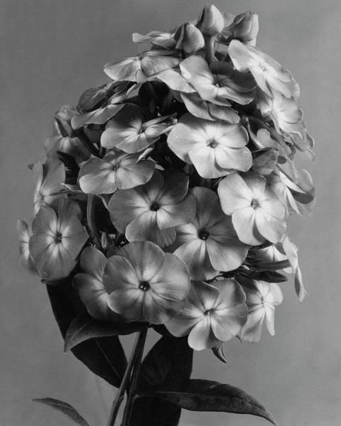 Flower Photograph - A Widar by J. Horace McFarland