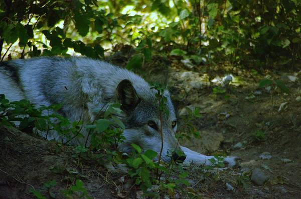 Wall Art - Photograph - A Wolf Naps by Jeff Swan