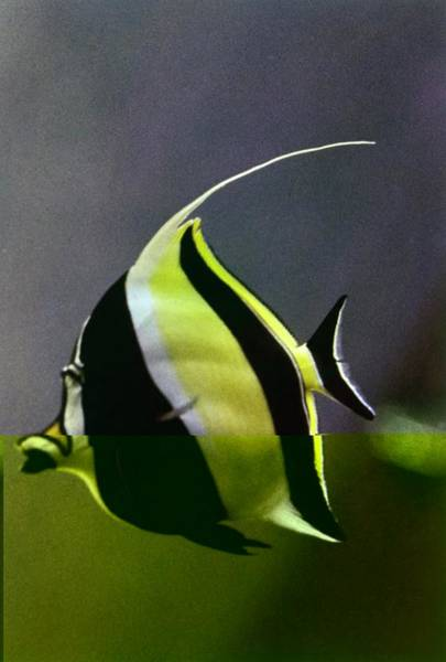 Photograph - A Yellow, Black, And White Kihikini Fish by Horst P. Horst