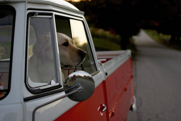Backroad Wall Art - Photograph - A Yellow Labrador Sits In The Drivers by David McLain