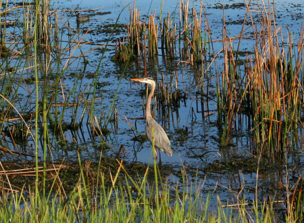 Photograph - A Young Blue Heron by Joseph Coulombe