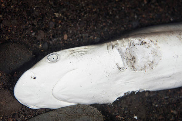 Wall Art - Photograph - A Young Grey Reef Shark Has Been Killed by Ethan Daniels